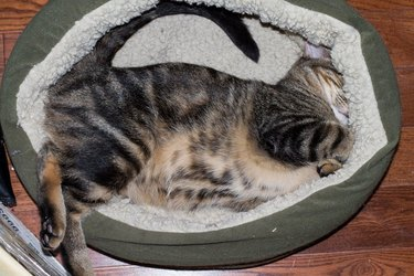 Cat asleep in cat bed in weird position