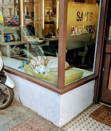 Husky asleep on  cushion in window of barbershop