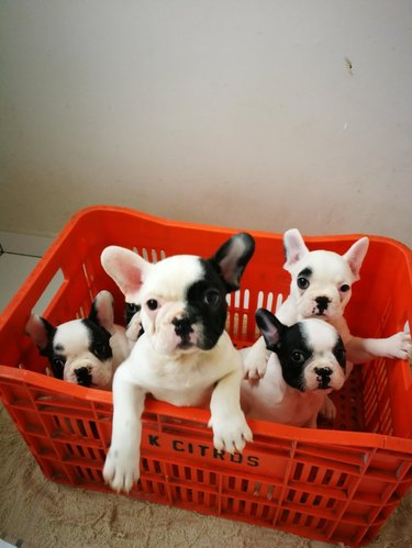 Red milk crate with five black and white French bulldog puppies