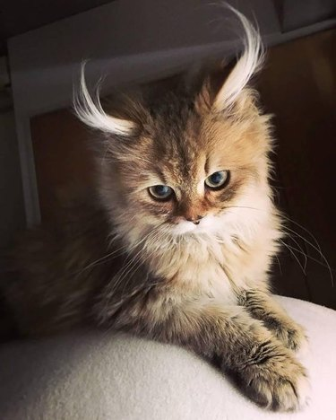 Kitten with curled ear tufts.