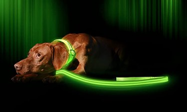 A brown dog with a lighted green leash