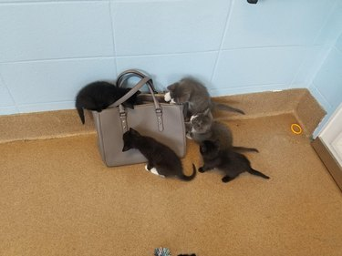 Five kittens inspect a purse