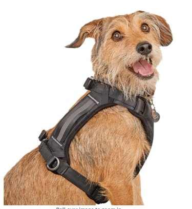 Brown dog wearing black harness