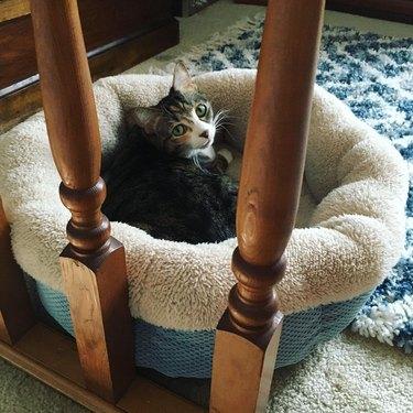 cat gets in cat bed