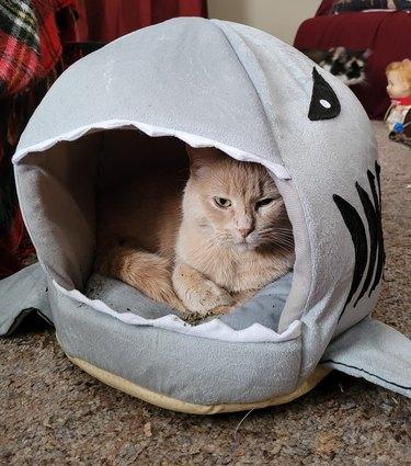 cat in shark-shaped cat bed