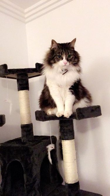 cat stands on cat tower