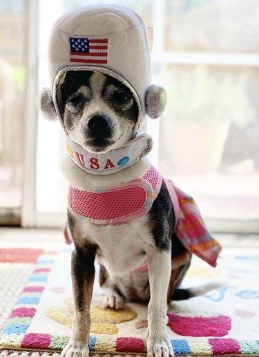 dog wearing astronaut helmet