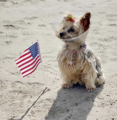 yorkie on beach with cone on head and American flag