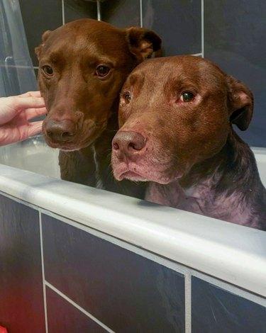 pitbulls in bathtub
