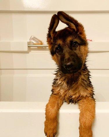 german shepherd likes bathtime
