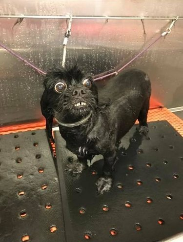 dog groomer shares picture of wet dog