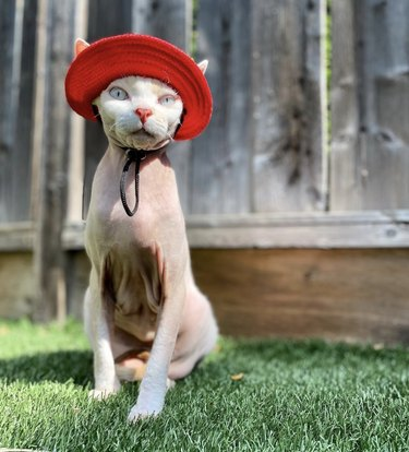 cat in red hat