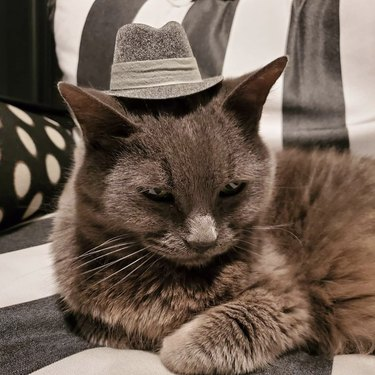 cat in fedora