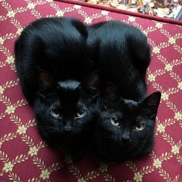 Two black cats sitting in a loaf position