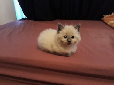 Kitten sitting in loaf shape