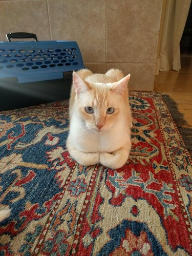 Cat sitting in loaf shape