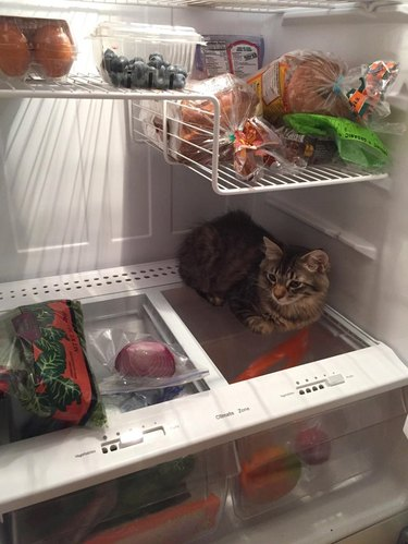 Cat sitting in refrigerator
