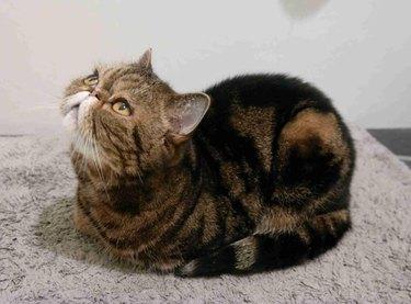 Cat sitting in loaf shape