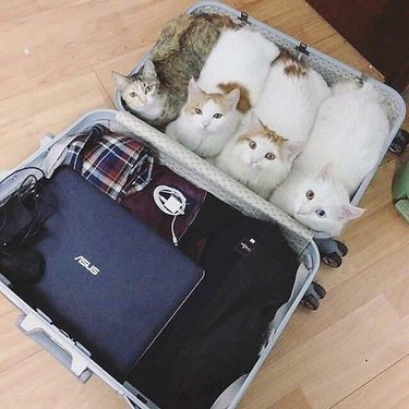 Four cats sitting side-by-side in a suitcase