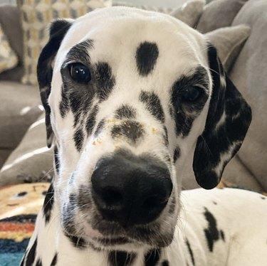 close up of dalmatian nose