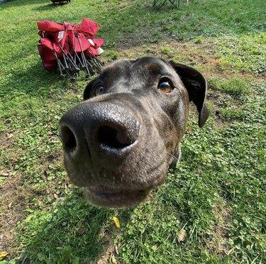close up of black dog nose