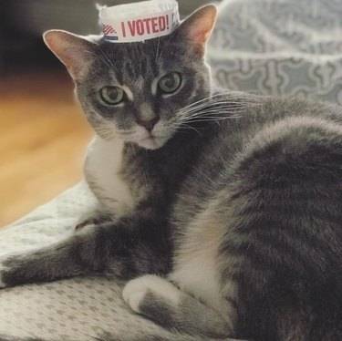 cat with i voted wristband on its head