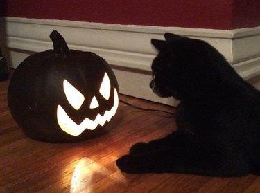 black cat stares at jack o lantern