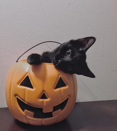 black cat sits in plastic pumpkin