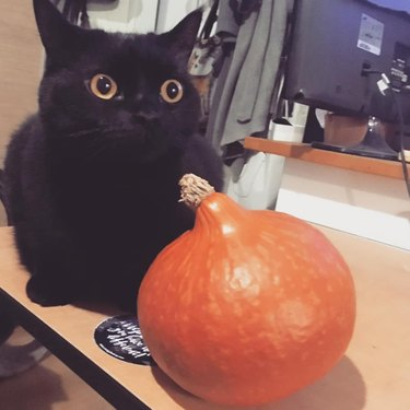 cat pushes pumpkin off counter