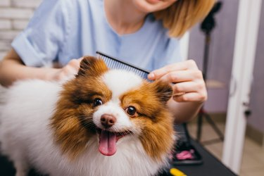 professional groomer shears and combs the dog's hair