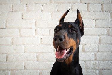 Portrait of a Doberman dog.
