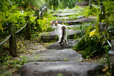 Cat with two different color eyes standing on a leafy path