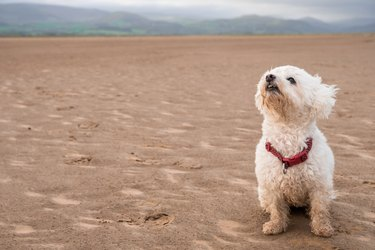 Cute Shih-Poo on Beach