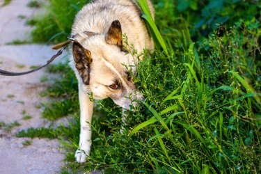 Defocus close-up siberian laika husky on a leash. Dog smelling for hunting in garden. The pet takes the trail and sniffing ground and grass. Eating wheat grass, treating animals. Out of focus