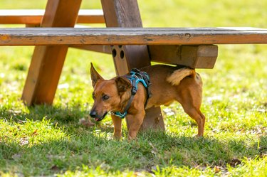 Cute small dog peeing outdoors onto a bench.