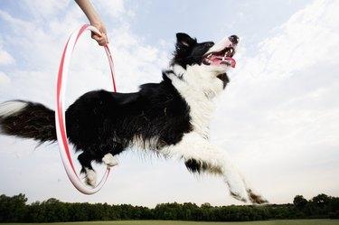 A dog jumping through a hoop