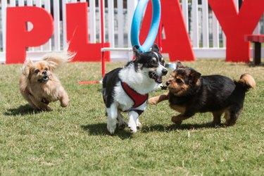 Dogs Joyfully Play And Run In Dog Park