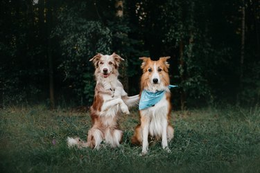 Two border collie dogs sit in embracing one another