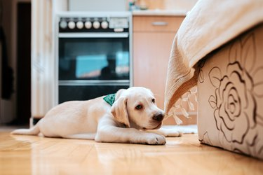 Cute puppy lying on the floor indoors. Chewing part of furniture.