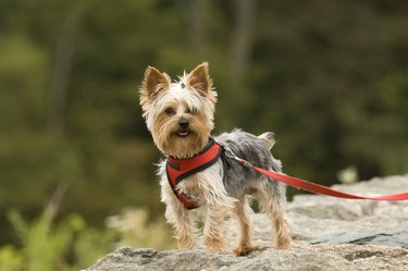 Happy Little Yorkshire Terrier Outdoors