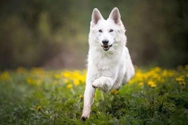 Beautiful swiss shepherd