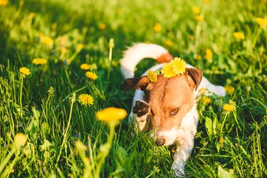 Allergy season concept with dog wiping out his eye from flower pollen