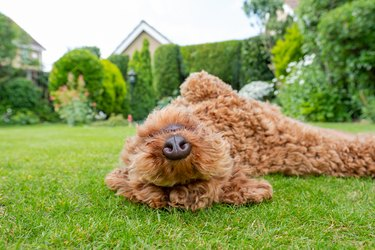 Young Poodle bred of dog seen rolling around in a well maintained, private garden.