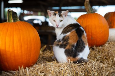 patchwork cat orange pumpkins fall festival pumpkin patch