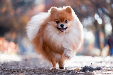 A beautiful Pomeranian runs through the bright autumn forest
