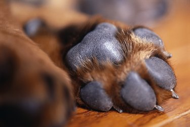 Close up of a brown dogs paw