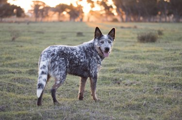 Australian Cattle Dog  (Blue heeler) standing in the field at sunset looking at the camera mouth open