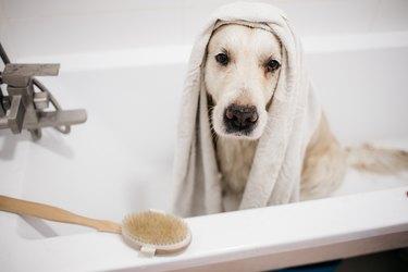golden retriever bathing in the bathroom