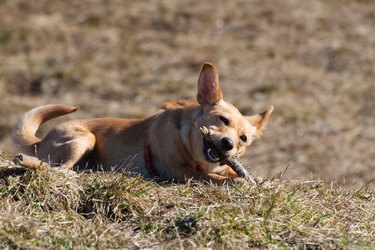 Cute small Rat Terrier Chihuahua mix dog lies in grass and chews wooden stick