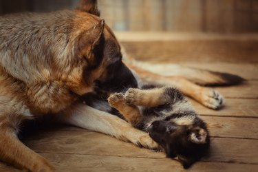german shepherd mother dog playing with puppy